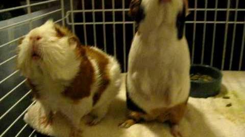 Guinea pigs squeak for food!!