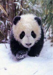 Panda so nice