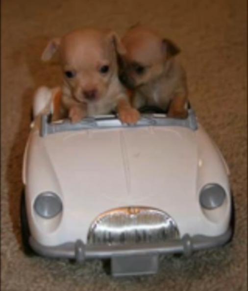 Cute mc puppies