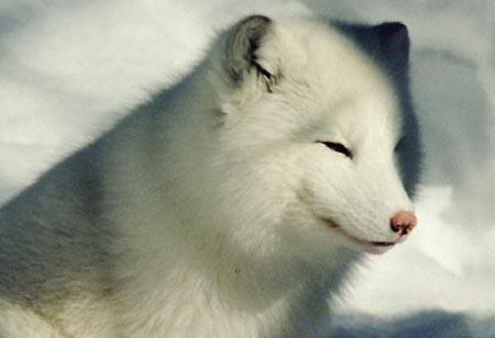 Arctic fox NP