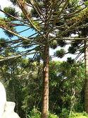 Araucaria angustifolia 01