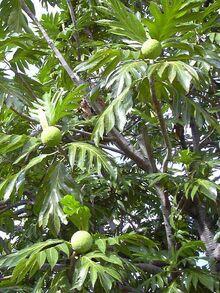 Artocarpus.altilis1web