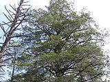 Arisoona küpress