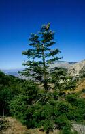 Abies nebrodensis Castellana Sicula1