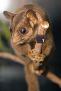 Leadbeater's Possum 02 Pengo