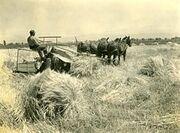 Boise Valley wheat field