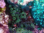 Niue Anemone and Fish