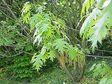 Quercus coccinea2