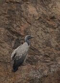 Indian vulture on cliff