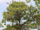 Roostepruun tamm