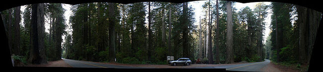 Sequoia sempervirens Redwood National Park panorama