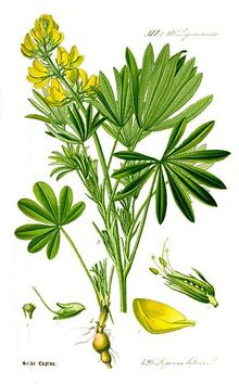 Illustration Lupinus luteus1