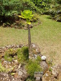 Brighamia insignis - general view