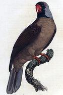 Mascarinus mascarinus