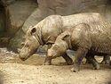 Sumatran Rhino 2