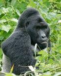 Gorillas in Uganda-1, by Fiver Löcker