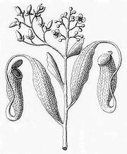 Utricaria vegetabilis zeylanensium