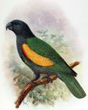 Amazona violacea