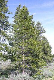 Pine tree atop Signal Mountain