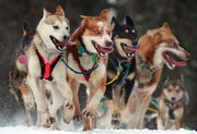 Iditarod Ceremonial start in Anchorage, Alaska