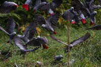 Grey parrots forest clearing