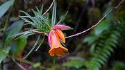 Rhododendron stenophyllum