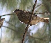 Polynesian Starling