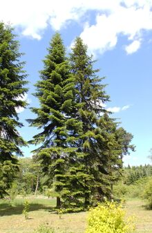 Abies sibirica HDR