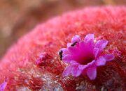 Flor de coroa-de-frade