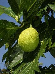 Artocarpus altilis (fruit)