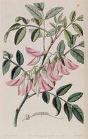 Clianthus carneus