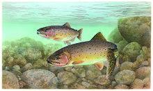 Trout cutthroat fish oncorhynchus clarkii clarkii