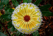 Banksia in the Blue Mountains