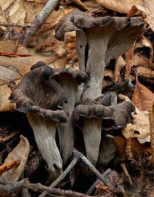 2011-11-20 Craterellus cornucopioides (L.) Pers 183522 cropped