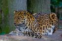 Amur Leopard (P.p. amurensis)