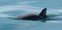 Vaquita4 Olson NOAA
