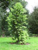 Wollemia nobilis (Kew Gardens)