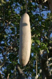 Kigelia fruit