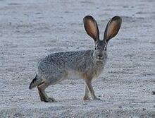 Jackrabbit2 crop