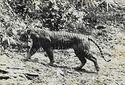 Panthera tigris sondaica 01