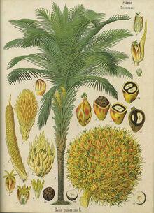 Elaeis guineensis - Köhler–s Medizinal-Pflanzen-056