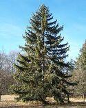 Picea koyamai Morton