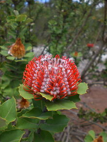 Banksia coccinea - Little Grove