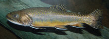 Brook Trout Salvelinus fontinalis 2900px