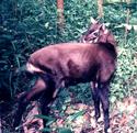 Pseudoryx nghetinhensis, b