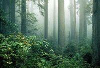 Redwood and fog