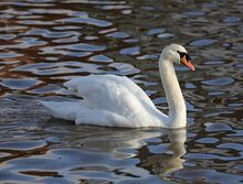 Mute Swan Emsworth2