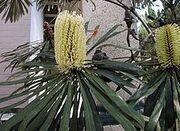 220px-Banksia aquilonia1