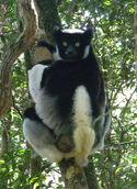 Indri indri 001