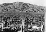 Saguaro National Park1935
